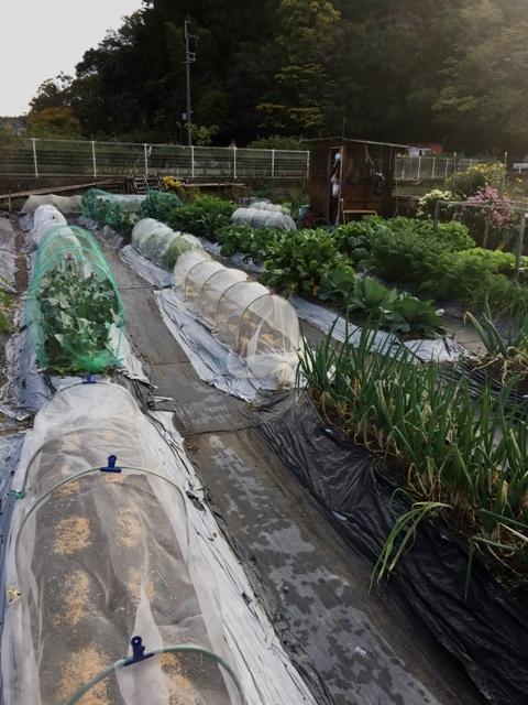北摂の家庭菜園も冬に向かっている・・!!_f0229190_20125175.jpg