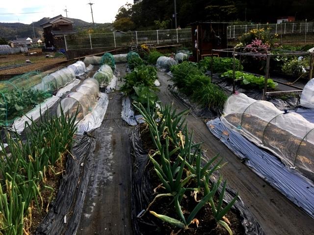 北摂の家庭菜園も冬に向かっている・・!!_f0229190_20133151.jpg