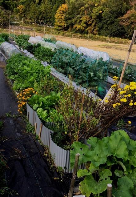 北摂の家庭菜園も冬に向かっている・・!!_f0229190_20140085.jpg