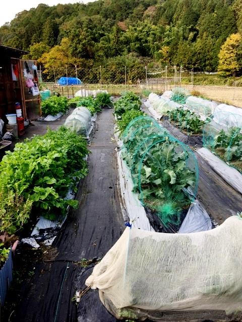 北摂の家庭菜園も冬に向かっている・・!!_f0229190_20142850.jpg