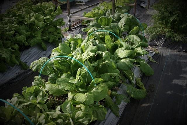 北摂の家庭菜園も冬に向かっている・・!!_f0229190_21170891.jpg