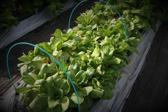 北摂の家庭菜園も冬に向かっている・・!!_f0229190_21201997.jpg