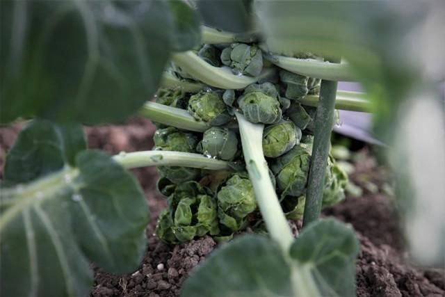 北摂の家庭菜園も冬に向かっている・・!!_f0229190_21225255.jpg