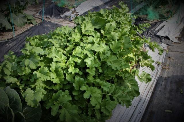 北摂の家庭菜園も冬に向かっている・・!!_f0229190_21241558.jpg
