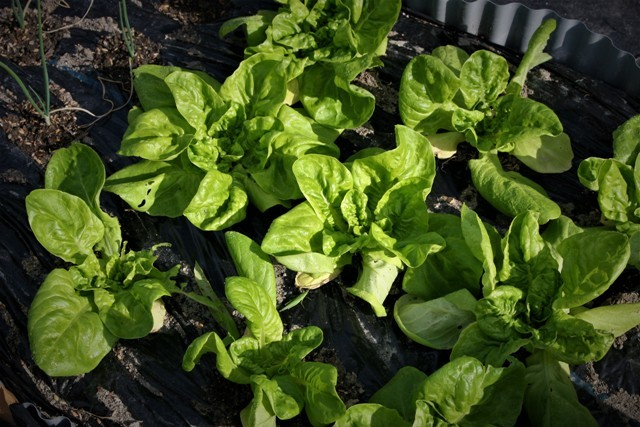 北摂の家庭菜園も冬に向かっている・・!!_f0229190_21334571.jpg