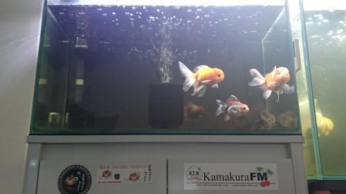 60㎝水槽の導入魚を動画で♪♪_b0298605_14164963.jpg