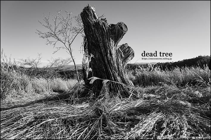dead tree_f0100215_23564318.jpg