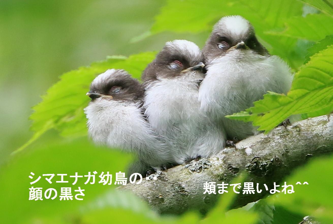 エナガとシマエナガ_c0229170_21025787.jpg