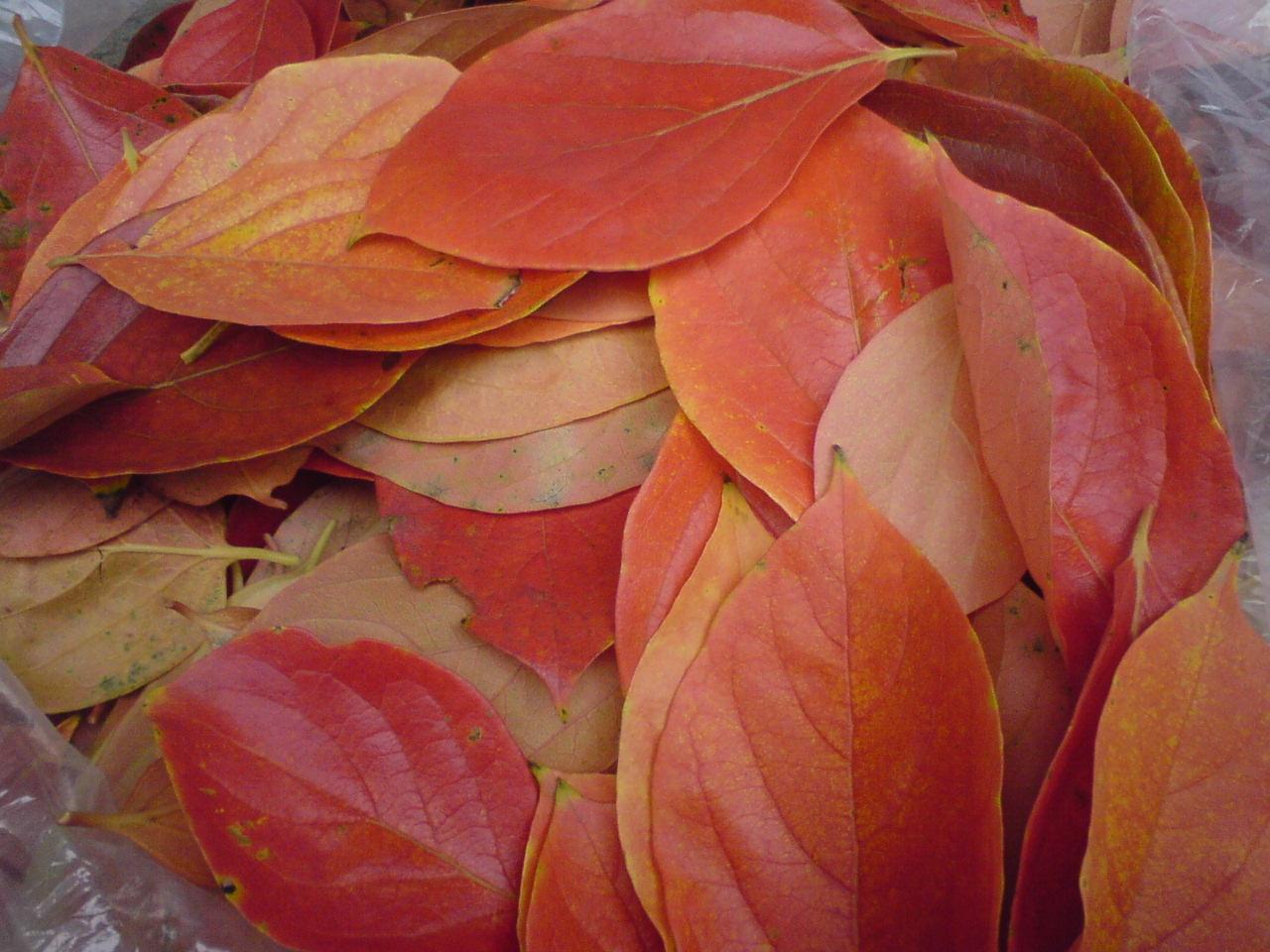 柿の葉の紅葉。_f0018099_11304400.jpg