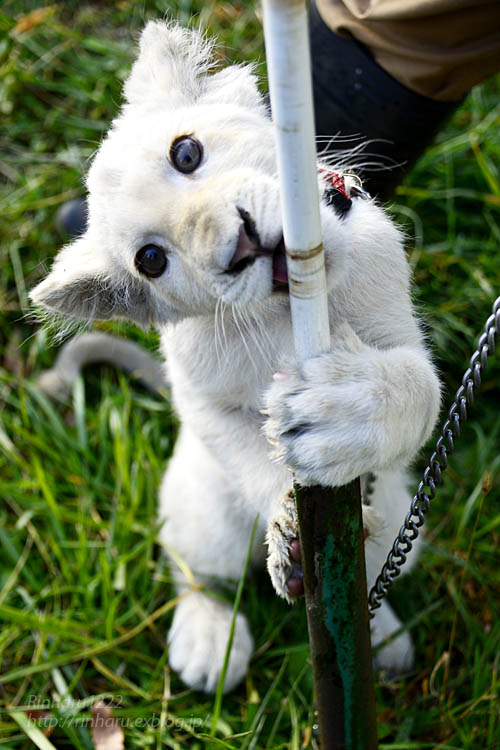 2018.11.18 東北サファリパーク☆ホワイトライオンのリズムちゃま【White lion baby】<その1>_f0250322_19313820.jpg