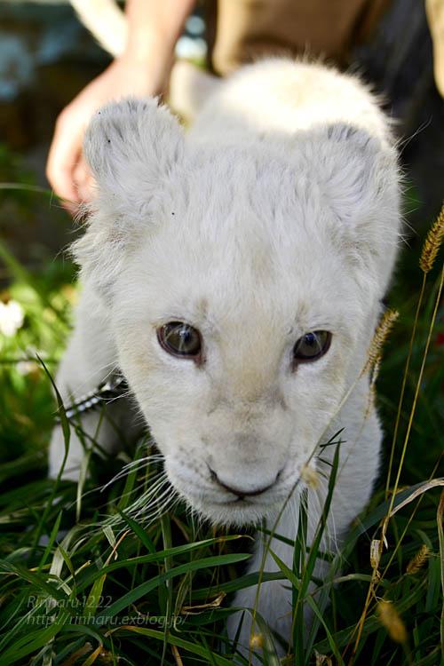 2018.11.18 東北サファリパーク☆ホワイトライオンのリズムちゃま【White lion baby】<その1>_f0250322_19314587.jpg