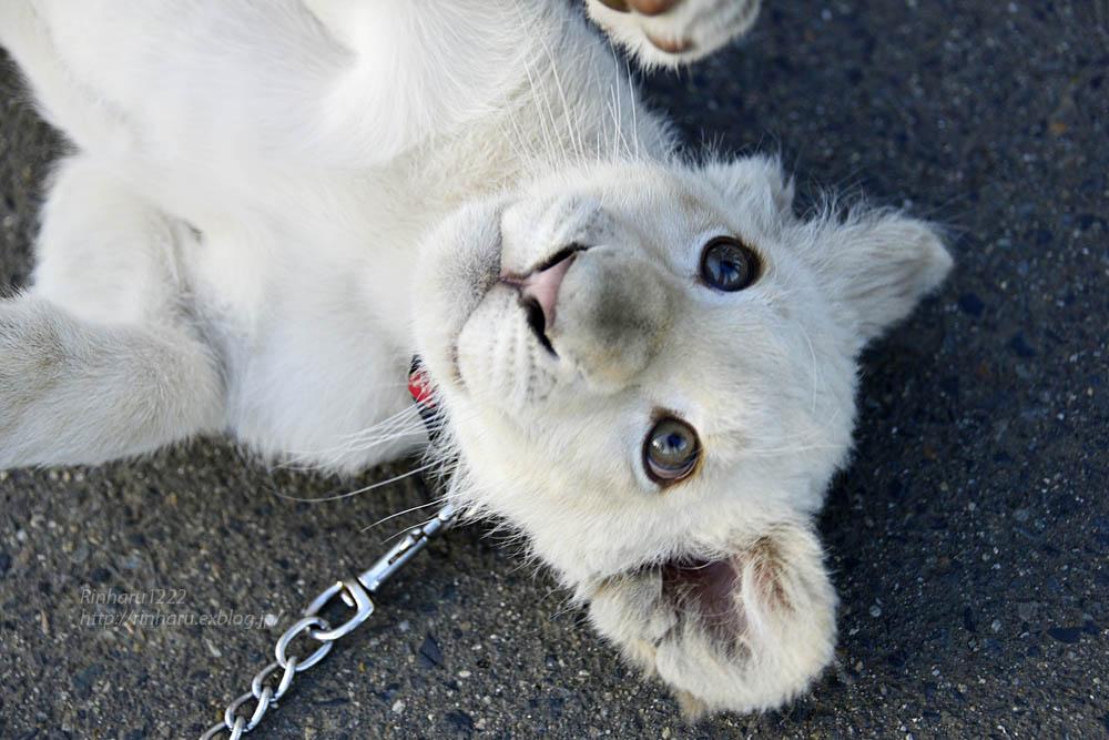 2018.11.18 東北サファリパーク☆ホワイトライオンのリズムちゃま【White lion baby】<その1>_f0250322_19314969.jpg