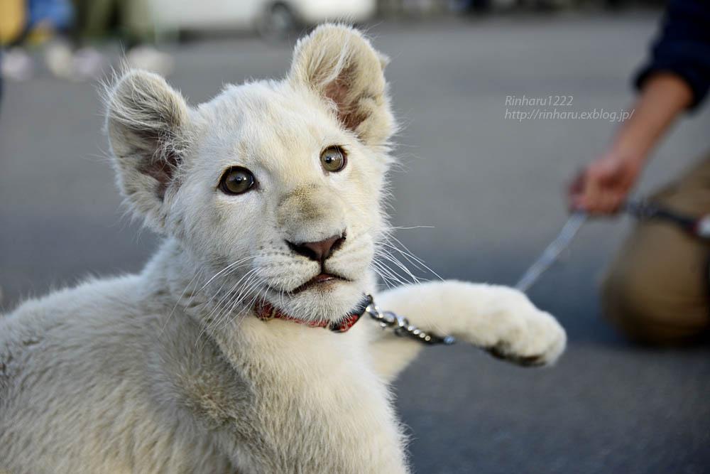 2018.11.18 東北サファリパーク☆ホワイトライオンのリズムちゃま【White lion baby】<その1>_f0250322_19315315.jpg