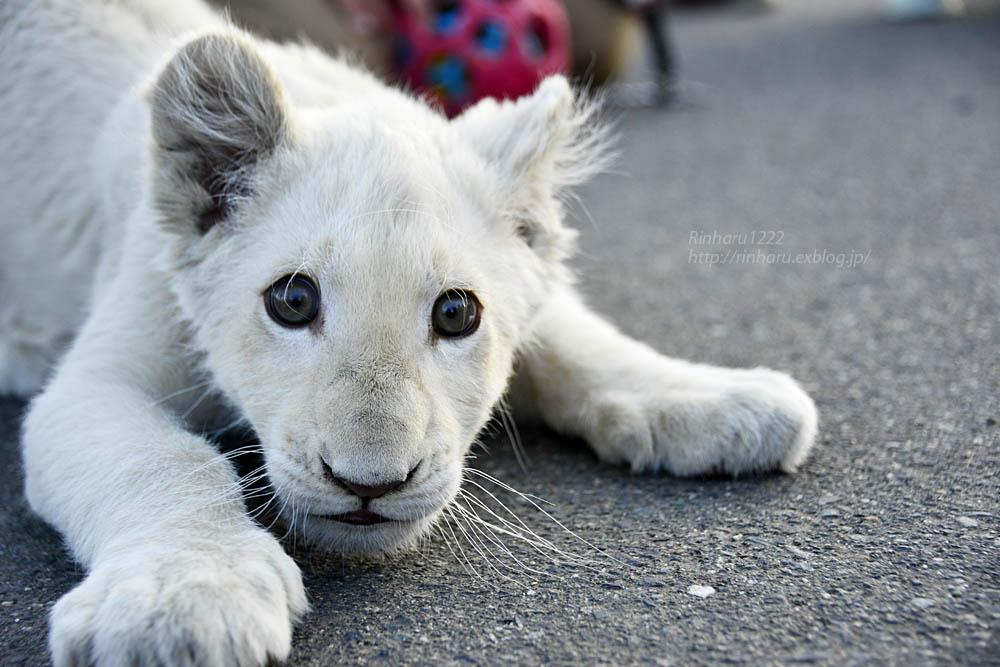 2018.11.18 東北サファリパーク☆ホワイトライオンのリズムちゃま【White lion baby】<その1>_f0250322_19315870.jpg