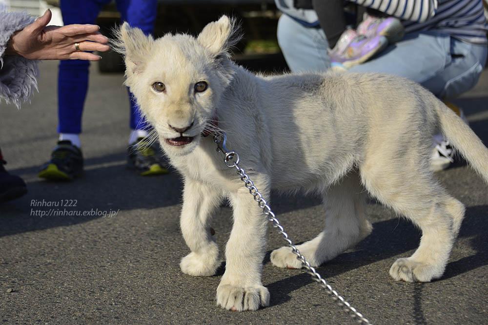 2018.11.18 東北サファリパーク☆ホワイトライオンのリズムちゃま【White lion baby】<その1>_f0250322_19321162.jpg