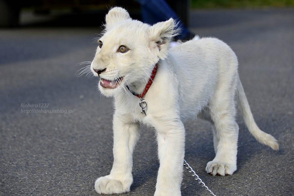 2018.11.18 東北サファリパーク☆ホワイトライオンのリズムちゃま【White lion baby】<その1>_f0250322_19321585.jpg