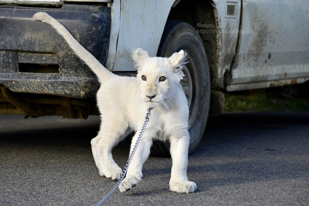 2018.11.18 東北サファリパーク☆ホワイトライオンのリズムちゃま【White lion baby】<その1>_f0250322_1932199.jpg