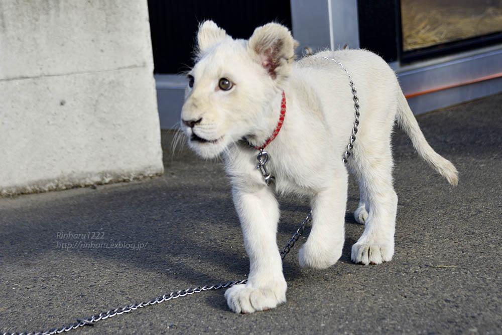 2018.11.18 東北サファリパーク☆ホワイトライオンのリズムちゃま【White lion baby】<その1>_f0250322_1932301.jpg