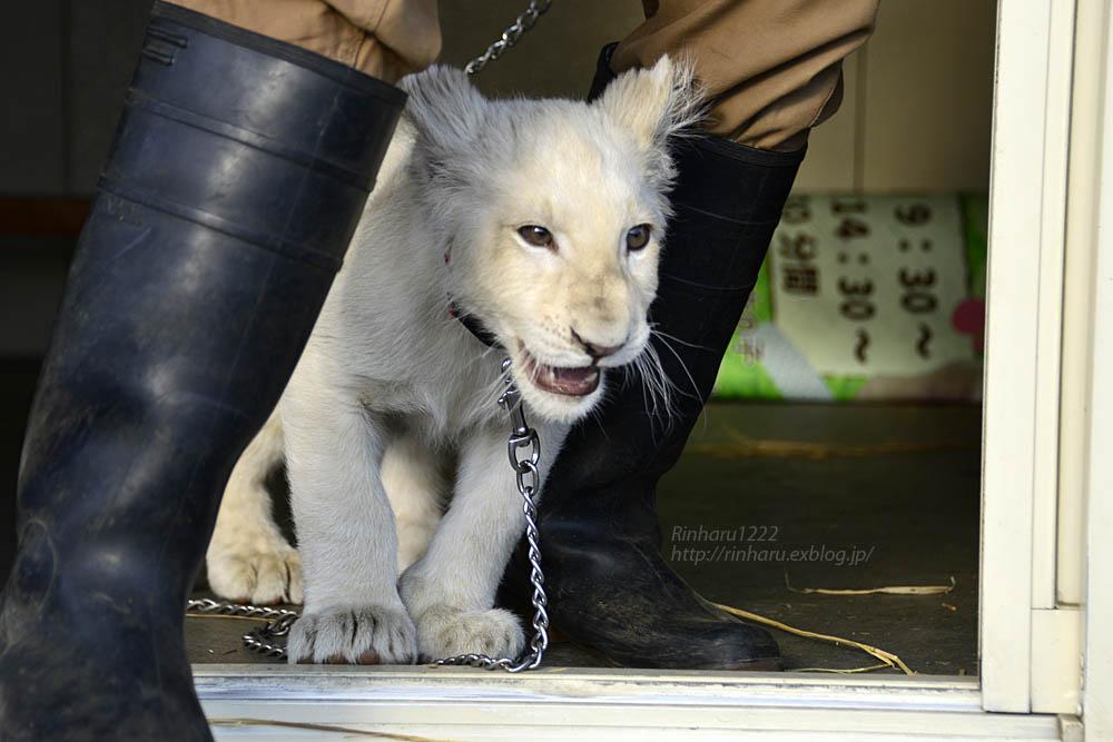 2018.11.18 東北サファリパーク☆ホワイトライオンのリズムちゃま【White lion baby】<その1>_f0250322_19323560.jpg