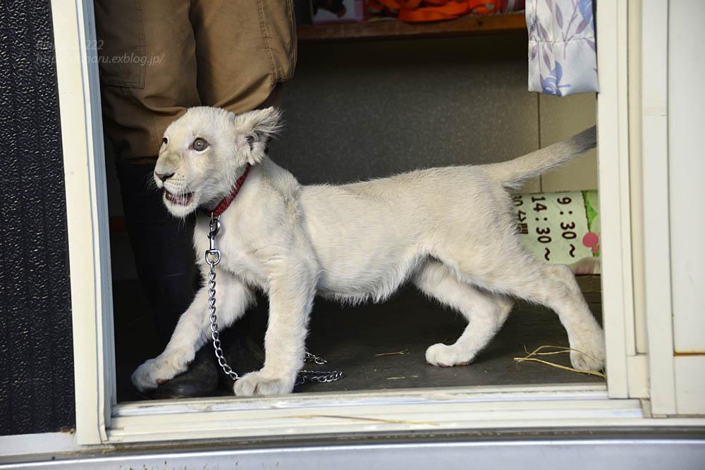 2018.11.18 東北サファリパーク☆ホワイトライオンのリズムちゃま【White lion baby】<その1>_f0250322_19324088.jpg