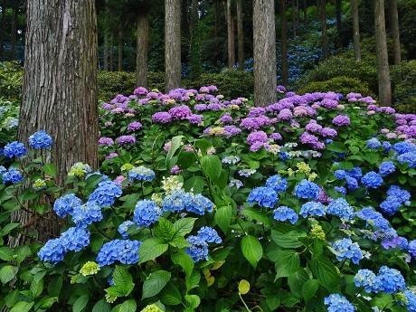 高野山~花園あじさい園_c0057946_20312985.jpg