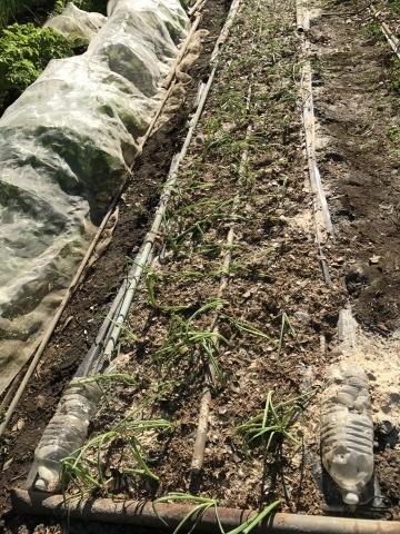 中、中晩生のタマネギの苗、各100本植え付け11/15_c0014967_17333578.jpg