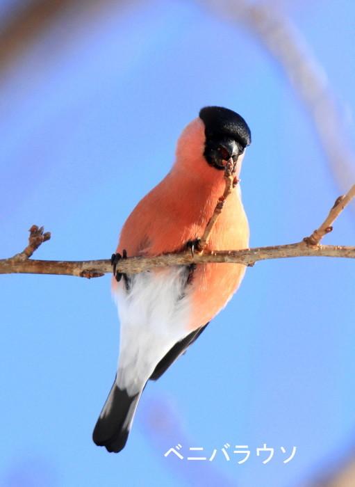 白い鳥 赤い鳥_c0229170_19555631.jpg