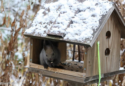 雪が積もったね、エゾリスさん~11月の旭川_d0340565_19540687.jpg
