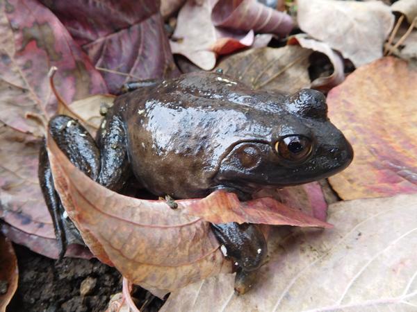 冬眠カエルと冬に向かう万葉・紅白_e0097534_1714841.jpg