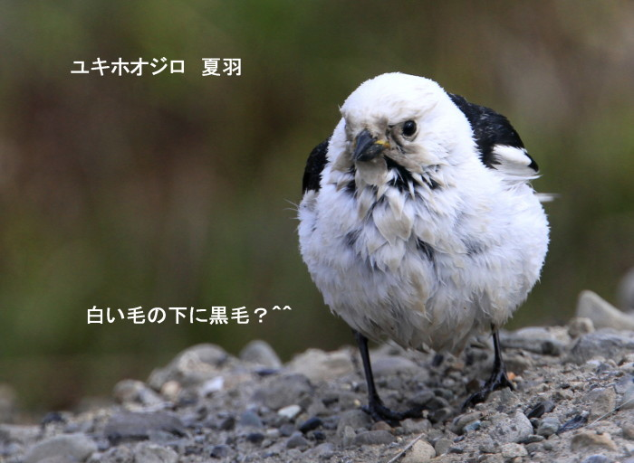 白い鳥と・・シロクマ^^_c0229170_21224671.jpg