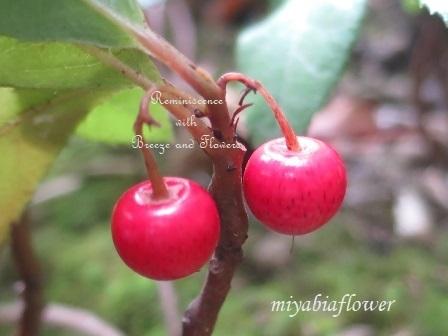 花から実へ 藪柑子 杜鵑のその後_b0255144_16310813.jpg
