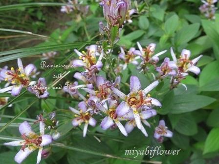 花から実へ 藪柑子 杜鵑のその後_b0255144_16323623.jpg