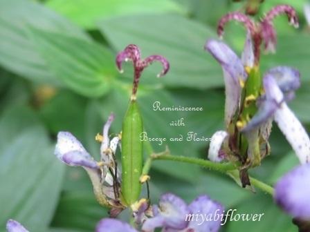 花から実へ 藪柑子 杜鵑のその後_b0255144_16324379.jpg