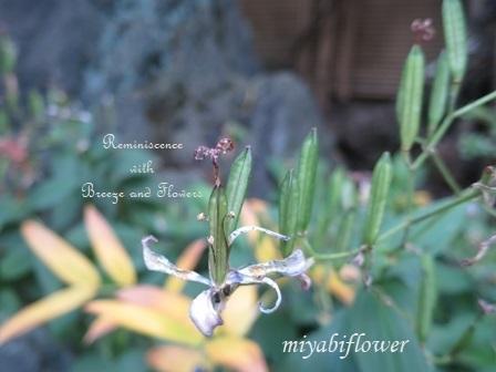 花から実へ 藪柑子 杜鵑のその後_b0255144_16325709.jpg
