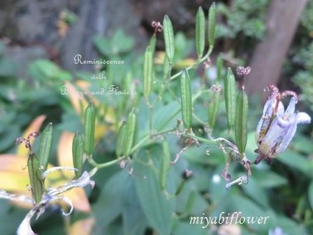 花から実へ 藪柑子 杜鵑のその後_b0255144_16330246.jpg