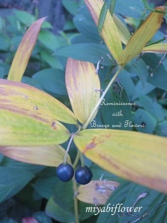 花から実へ 藪柑子 杜鵑のその後_b0255144_16331527.jpg