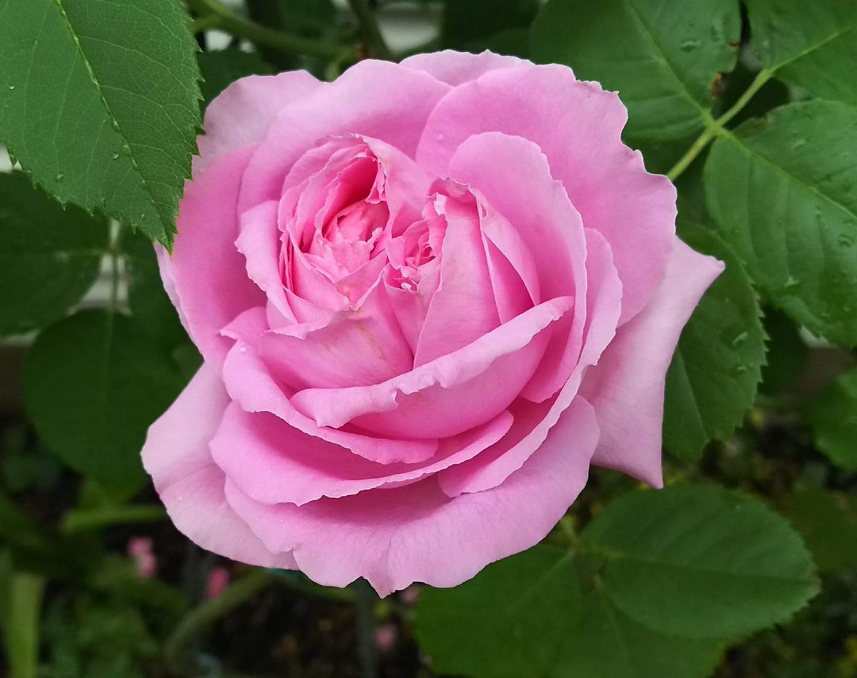 大好きなバラ!_c0054646_10454519.jpg