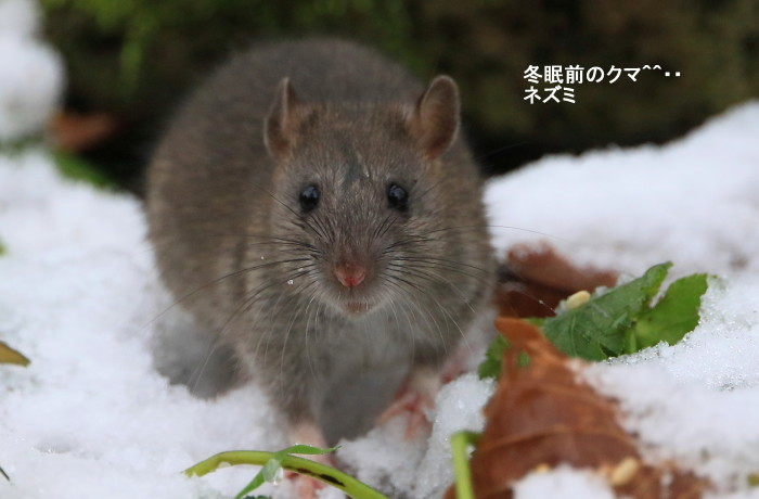 ネズミとサケ_c0229170_22045467.jpg