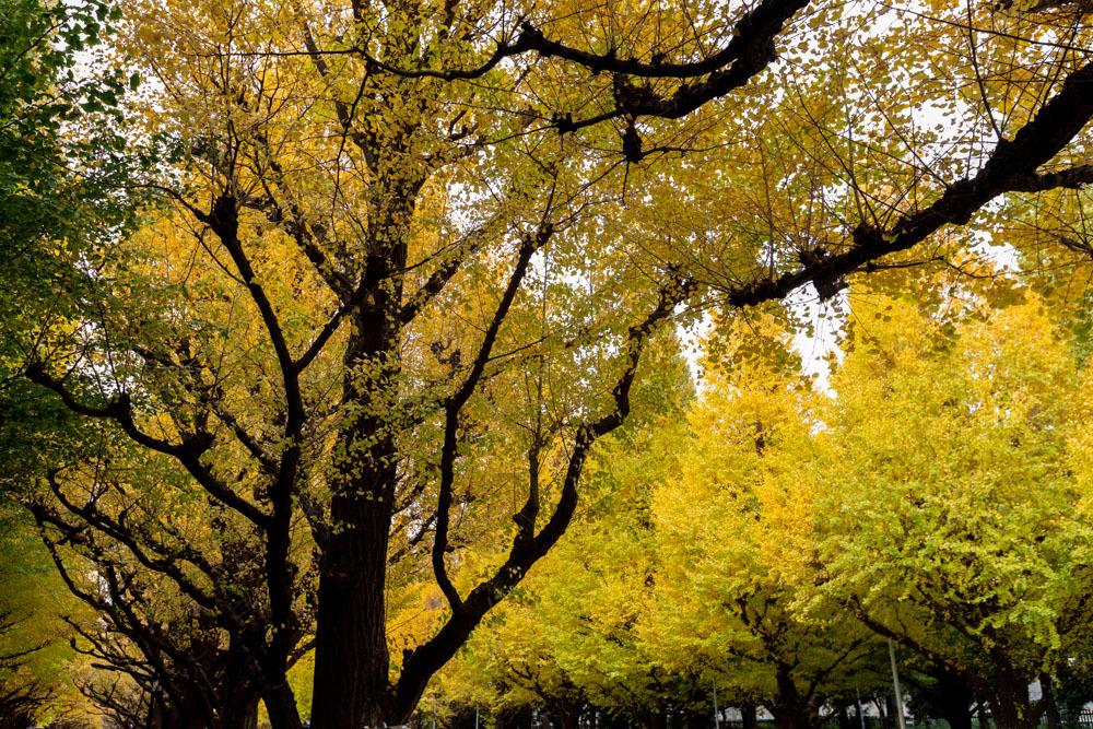 神宮外苑 銀杏並木の黄葉は少し早かった_a0261169_18530571.jpg