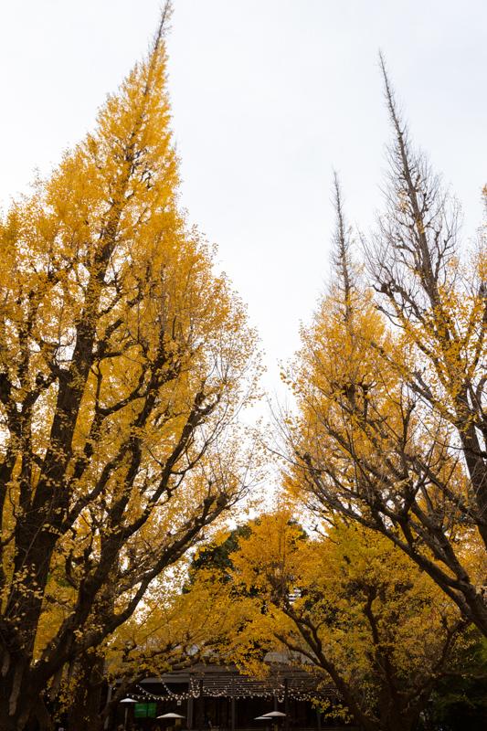 神宮外苑 銀杏並木の黄葉は少し早かった_a0261169_18543929.jpg