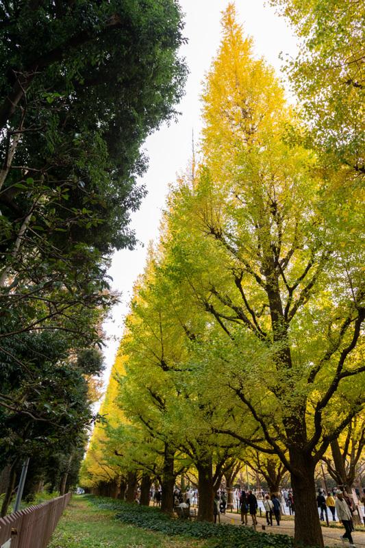 神宮外苑 銀杏並木の黄葉は少し早かった_a0261169_18545719.jpg