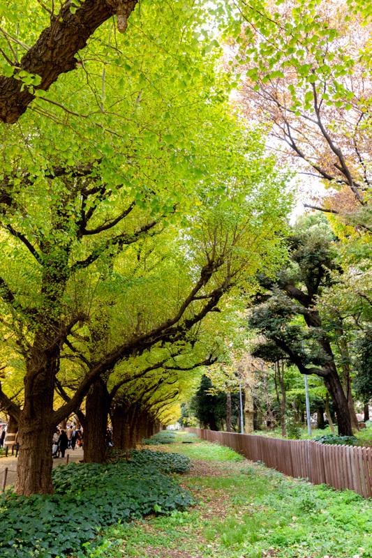 神宮外苑 銀杏並木の黄葉は少し早かった_a0261169_18551076.jpg