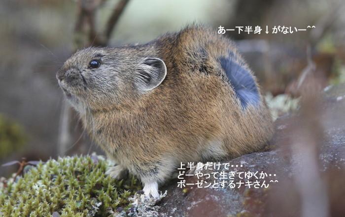 オコジョとナキウサギ_c0229170_21255037.jpg