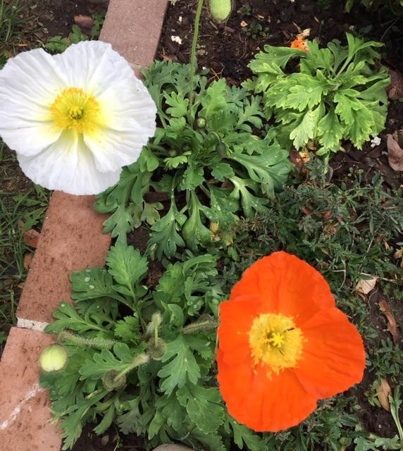 芍薬と立葵の球根と最近の庭_e0350971_00060292.jpg