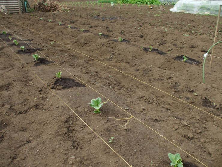 空豆の間引き苗を移植 & 軽トラ修理_d0225575_14574010.jpg