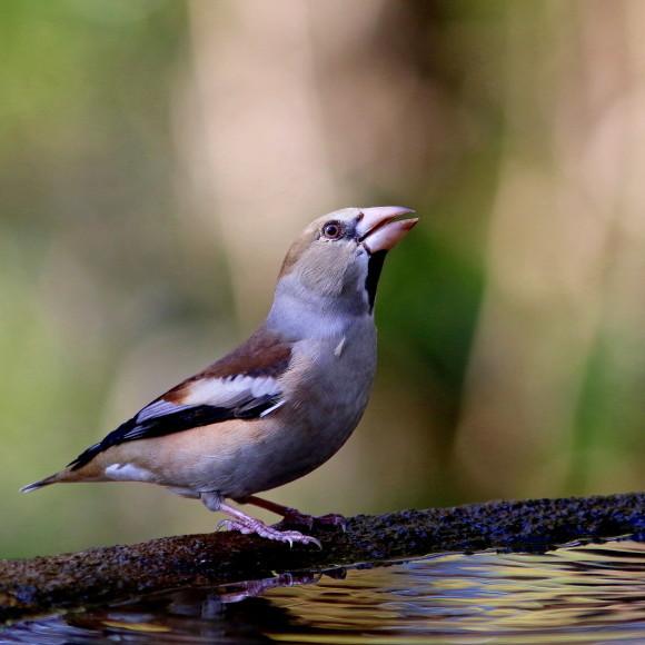 水場に集う鳥たち    GGY_d0346713_21053555.jpg