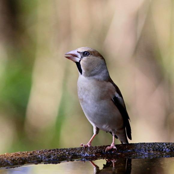水場に集う鳥たち    GGY_d0346713_21063411.jpg
