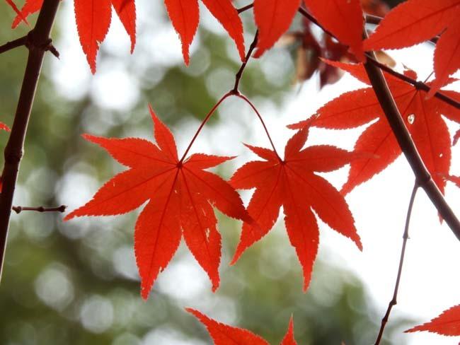 上賀茂神社 紅葉の盛り_e0048413_20443979.jpg
