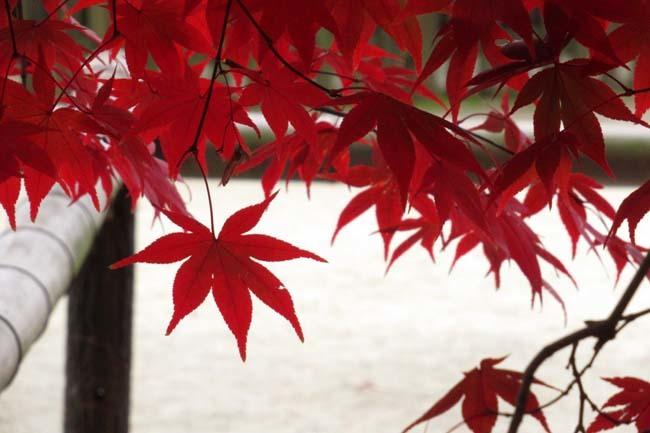 上賀茂神社 紅葉の盛り_e0048413_20444655.jpg