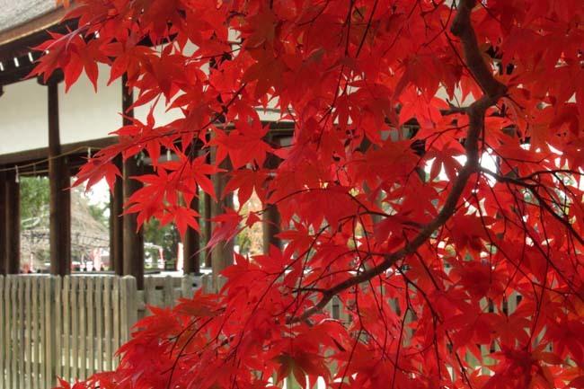 上賀茂神社 紅葉の盛り_e0048413_20445425.jpg